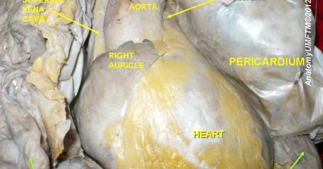 Hur många alveolerna innehåller lungorna?