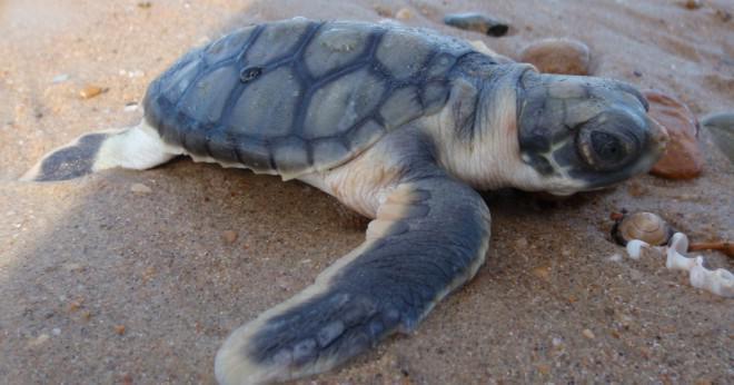 Vad är vissa anpassningar av gröna havssköldpaddor?